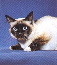 Бирманская полудлинношерстная кошка