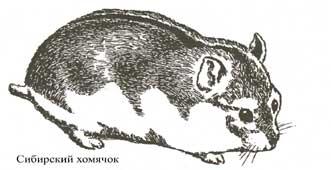 Сибирский хомячок (Phodopus campbelli) очень похож на джунгарского...
